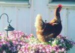 chicken in flowers